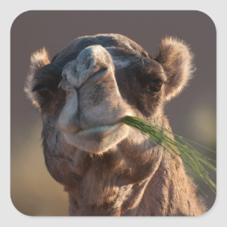 Hump Day Camel Feasting on Green Grass Square Sticker