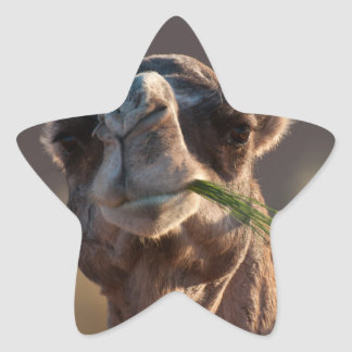 Hump Day Camel Feasting on Green Grass Star Sticker