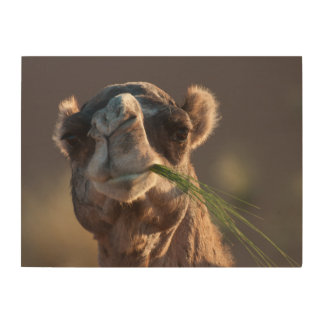 Hump Day Camel Feasting on Green Grass Wood Print