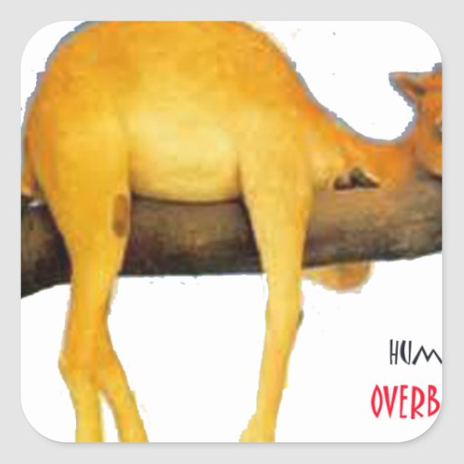 Hump Day Camel .. Overblown Sticker