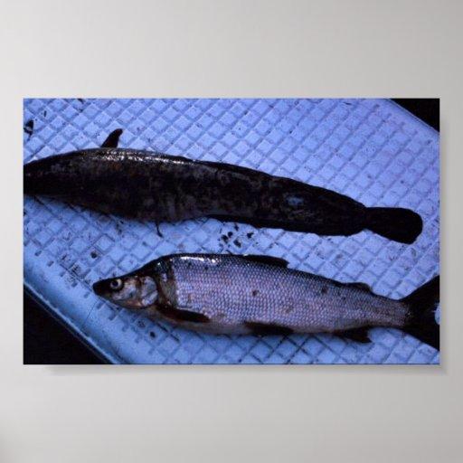 Humpback de los pescados blancos posters