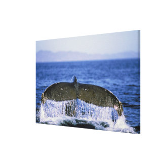Humpback tail. canvas print