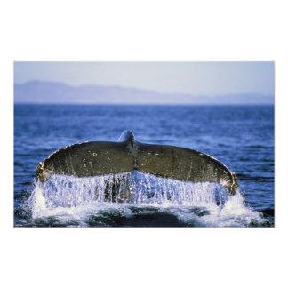 Humpback tail. photo print
