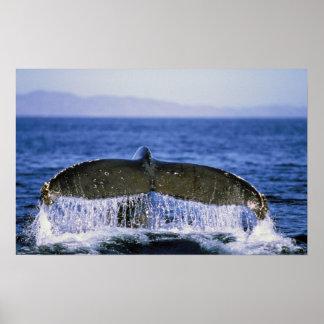Humpback tail. poster