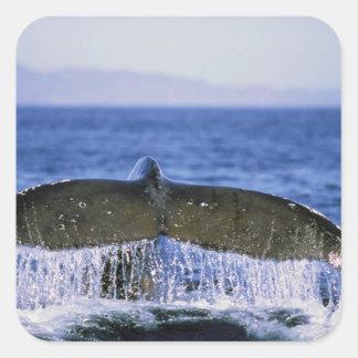 Humpback tail. square sticker