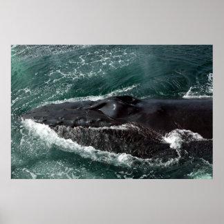 Humpback Wale  Close-up Poster