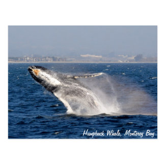 Humpback Whale Breach Postcard
