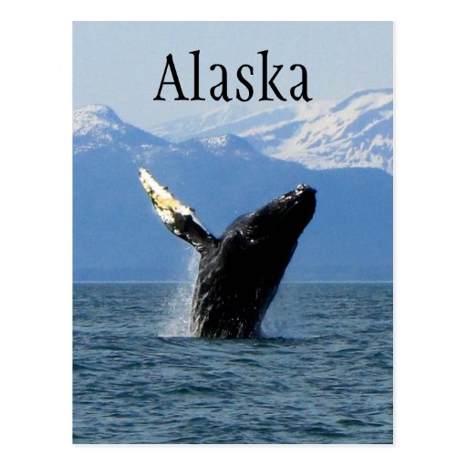 Humpback Whale Breaching; Alaska Postcard