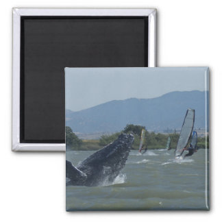 Humpback Whale Breaching by Windsurfers 2 Inch Square Magnet