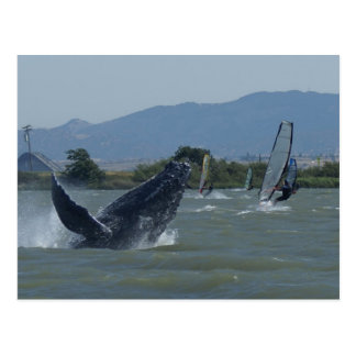 Humpback Whale Breaching by Windsurfers Postcard