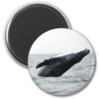 Humpback whale breaching 2 inch round magnet