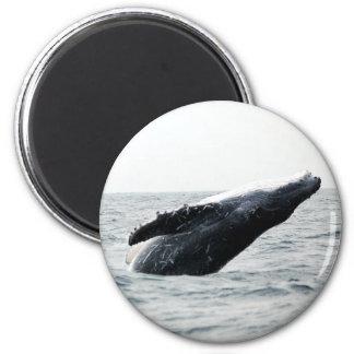 Humpback whale breaching magnet