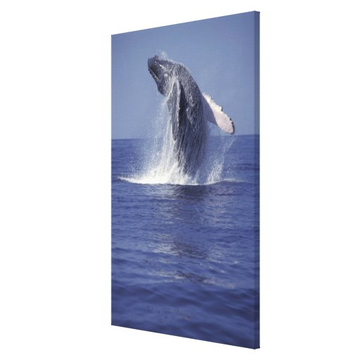 Humpback whale breaching (Megaptera Stretched Canvas Print