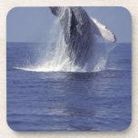 Humpback whale breaching (Megaptera Coasters