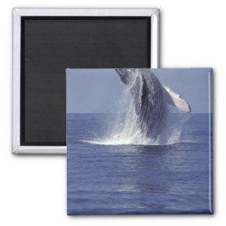 Humpback whale breaching (Megaptera 2 Inch Square Magnet