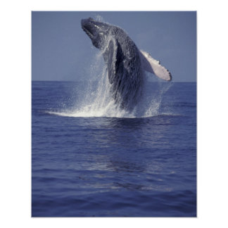 Humpback whale breaching (Megaptera Poster