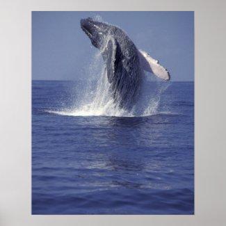 Humpback whale breaching (Megaptera Print