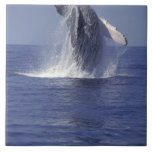 Humpback whale breaching (Megaptera Tile