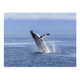Humpback Whale Breaching Postcard