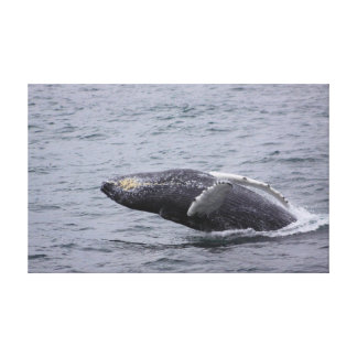 Humpback Whale breaching wrapped canvas