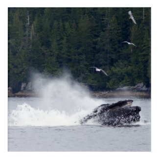 Humpback whale bubble feeding acrylic print