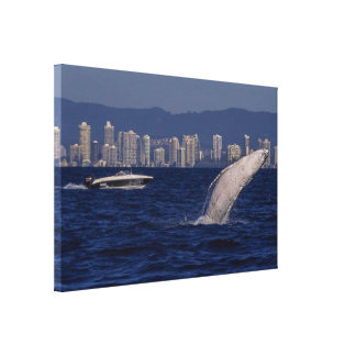 Humpback Whale Calf Breaching Surfers Paradise Canvas Print