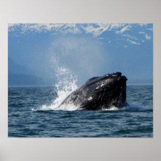 Humpback Whale Feeding Print