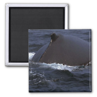 Humpback Whale In Fog 2 Inch Square Magnet