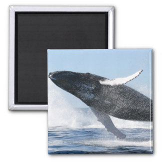 Humpback Whale Jumping High Refrigerator Magnet