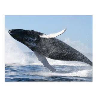 Humpback Whale Jumping High Postcard