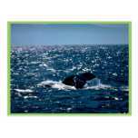 Humpback Whale Mexico Post Card