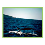 Humpback Whale, Mexico Post Cards