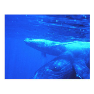 Humpback Whale Mother and Calf Postcard