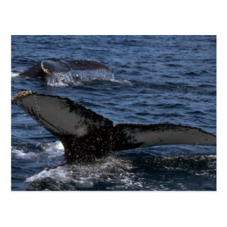 Humpback Whale Pair Postcard