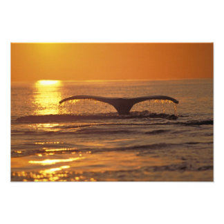 Humpback whale photo print