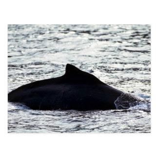 Humpback Whale Post Card