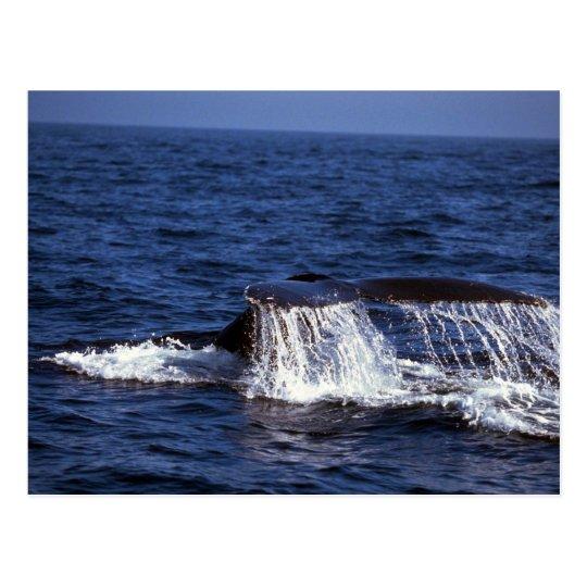Humpback Whale Sounding (Tail Flukes) Postcard