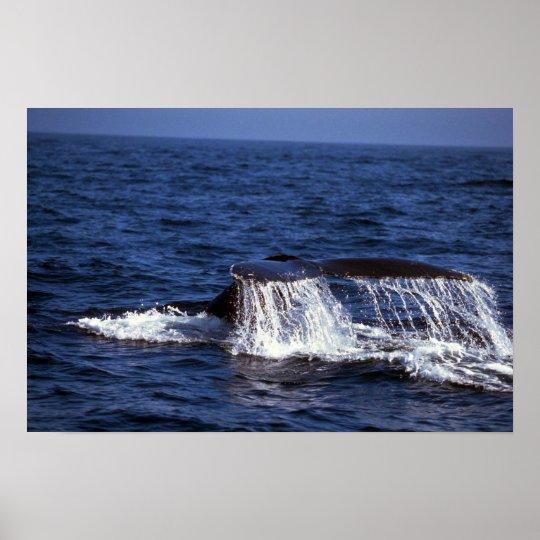 Humpback Whale Sounding (Tail Flukes) Poster