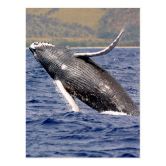 Humpback Whale Splashing Postcard