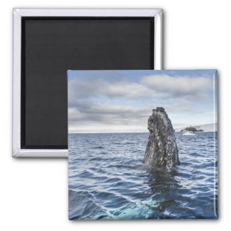 Humpback Whale Spyhops | Hope Bay, Antarctica Magnet