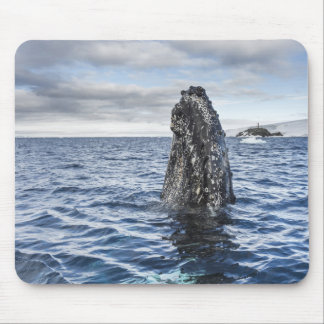 Humpback Whale Spyhops | Hope Bay, Antarctica Mouse Pad