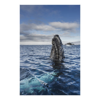 Humpback Whale Spyhops | Hope Bay, Antarctica Poster