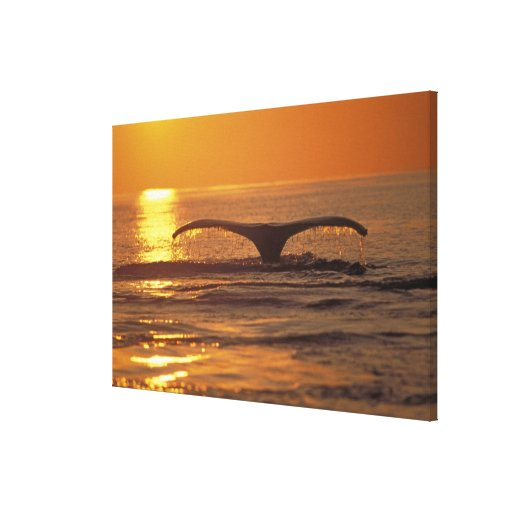 Humpback whale stretched canvas prints