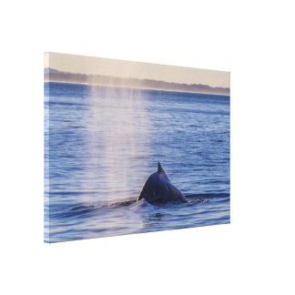 Humpback Whale Sunset Surfers Paradise Canvas Print