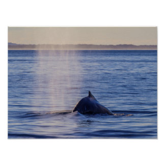 Humpback Whale Sunset Surfers Paradise Poster