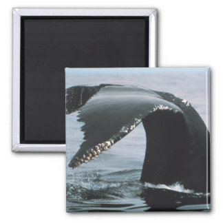 Humpback Whale Tail 2 Inch Square Magnet