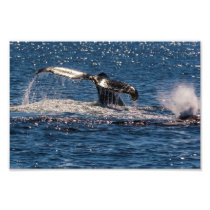 Humpback Whale Tail Fluke Photo Print
