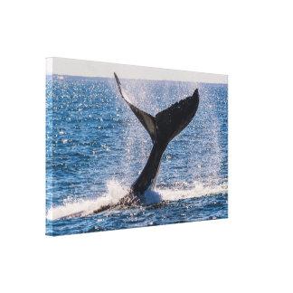 Humpback Whale - Tail Fluke Wrapped Canvas
