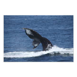 humpback whale tail flukes print