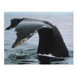 Humpback Whale Tail Post Cards